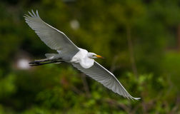 Great White Egret Flight Stock Photography