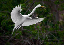 Great White Egret in Flight with Nesting Material Stock Photography