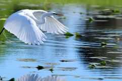 Great white egret in flight over water Royalty Free Stock Photo