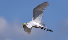 Great White Egret In Flight Stock Photo