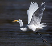 Great White Egret Flight Tounge Out Royalty Free Stock Image