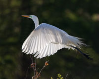 Great white egret in flight royalty free stock photos