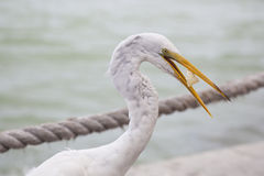 Great White Egret at Florida Gulf Coast Resort Stock Photo