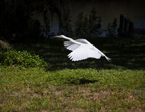 Great white egret fly Stock Photos