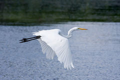 Great White Egret Flying Stock Images