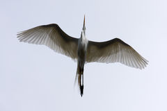 Great White Egret Flying Above Royalty Free Stock Photo