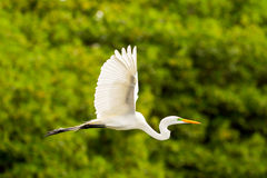 Great White Egret Flying Royalty Free Stock Photography