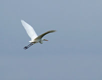 Great White Egret flying away Stock Photography