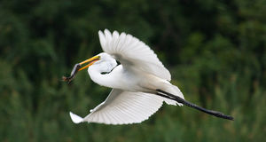 Great White Egret flying with fish Stock Photo