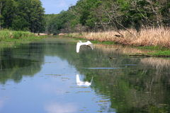 Great White Egret Flying over the Bayou. Royalty Free Stock Photo