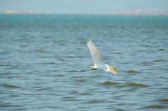 Great White Egret flying Stock Photography