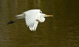 Great White Egret Flying Over A Lake Royalty Free Stock Image