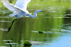 Great white egret flying over water Royalty Free Stock Photos