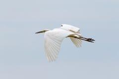 Great White Egret Royalty Free Stock Image