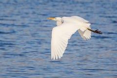Great White Egret Flying Stock Image