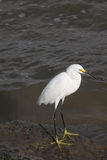 Great  White Egret. Great Egret in food hunting in Galveston Bay  wading in low tide Royalty Free Stock Photo