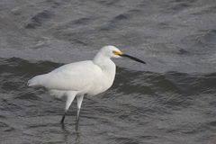 Great  White Egret. Great Egret in food hunting in Galveston Bay  wading in low tide Stock Photo