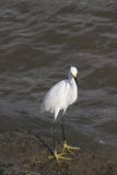 Great  White Egret. Great Egret in food hunting in Galveston Bay  wading in low tide Royalty Free Stock Photography
