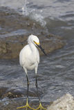 Great  White Egret. Great Egret in food hunting in Galveston Bay  wading in low tide Stock Photos
