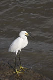 Great  White Egret. Great Egret in food hunting in Galveston Bay  wading in low tide Royalty Free Stock Photos