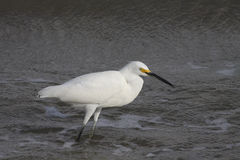 Great  White Egret. Great Egret in food hunting in Galveston Bay  wading in low tide Stock Photography