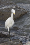 Great  White Egret. Great Egret in food hunting in Galveston Bay  wading in low tide Royalty Free Stock Image