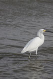 Great  White Egret. Great Egret in food hunting in Galveston Bay  wading in low tide Royalty Free Stock Images