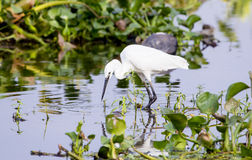 Great white egret foraging Royalty Free Stock Photography