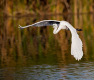 Great white egret in golden morning light Stock Photo