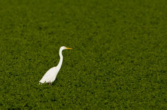 A Great White Egret in the green Royalty Free Stock Photos