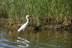 Great White Egret on the Hunt. Wading great white egret seen at Prime Hook National Wildlife Reserve in Delaware stock image