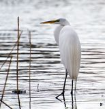 Great white egret hunting. Great white egret fishes on a lake Royalty Free Stock Photos