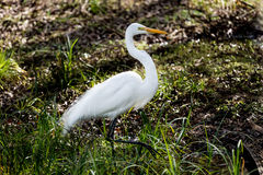 Great White Egret Hunting. At Brazos Bend State Park in Texas Royalty Free Stock Photos