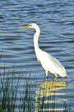 Great White Egret Hunting for Breakfast Royalty Free Stock Images