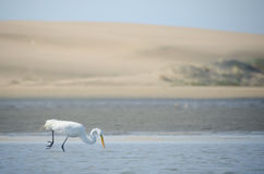 Great white egret hunting for fish and food Stock Photos