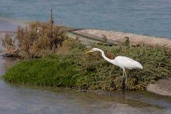 Great White Egret hunting for food. In Ras al Khor, Dubai, UAE royalty free stock photo