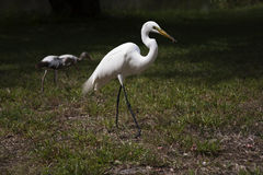 Great white egret and ibis Royalty Free Stock Photos