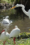 Great white egret with ibises in a Florida wetlands. Stock Photography
