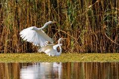 Free Great White Egret In Danube Delta Romanian Wild Life Bird Watching Stock Photo - 159158050
