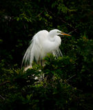 Great White Egret In Nest Stock Photography