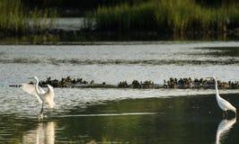 Free Great White Egret Landing In The Salt Marsh Royalty Free Stock Photo - 96656585