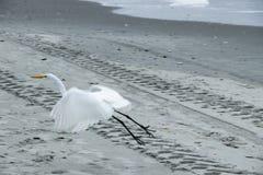 Great White Egret latająca depresja nad plażą zdjęcie stock