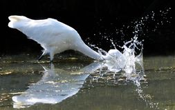 Great White Egret Makes a Splash. Great White Heron (Ardea alba) makes a splash catching a fish Stock Image