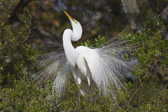 Great White Egret male mating plumage stock image