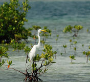 Great White Egret on mangrove tree. Wild Great White Egret rests on mangrove tree at shallow Caribbean waters. Cuba, July 2008 stock photography