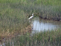 Great White Egret in Marsh. Of South Carolina Royalty Free Stock Photo