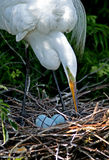 Great White Egret Mother. A great white egret tends her nest with three blue eggs Royalty Free Stock Photos