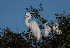 Great white egret mother with two juveniles Stock Photography