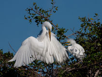 Great white egret mothers cleans her feathers as h Stock Photos
