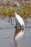 Great White Egret - Okavango Delta, Africa Royalty Free Stock Photography